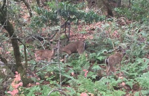 Deer Along The Trail - Cute Babies