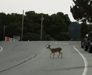 Deer Crossing The Road - Sunday Run